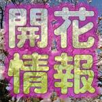 桜開花情報!