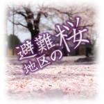 避難地区の桜
